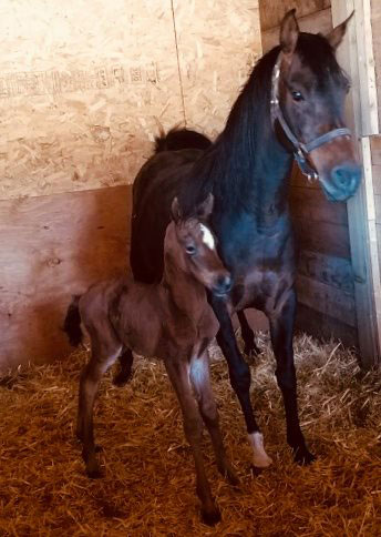 2019 Bay Filly